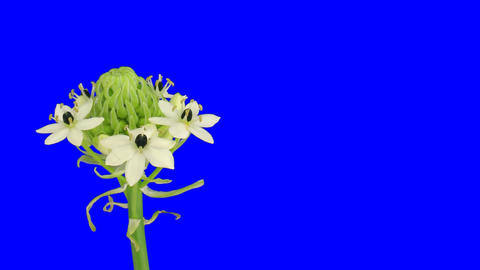 Time-lapse of opening white african lily 2ck blue chroma key Footage