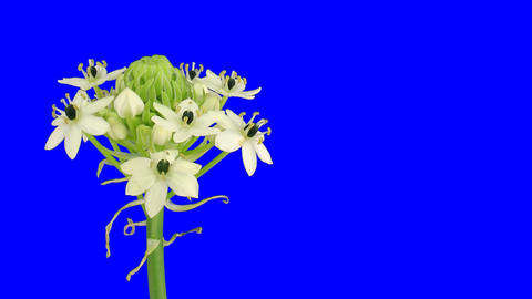 Time-lapse of opening white african lily 2ck blue chroma key Stock Video Footage