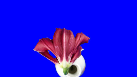 Time-lapse of dying red lily 6ck blue chroma key... Stock Video Footage