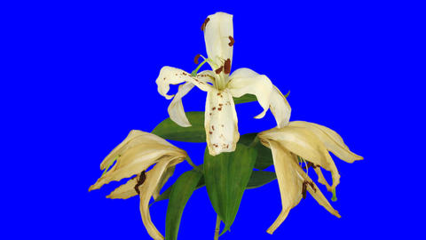 Time-lapse of dying white lily 16ck with blue chroma key Stock Video Footage