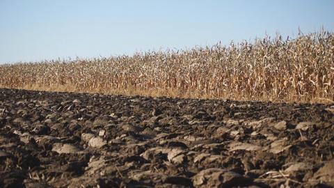 Corn field 06 Stock Video Footage