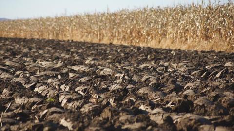 Corn field 08 Stock Video Footage