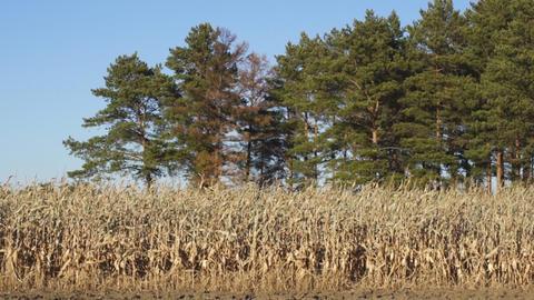 Corn field 10 Stock Video Footage