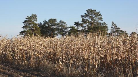 Corn field 12 Stock Video Footage
