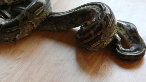 feeding snake - python eating rat Stock Video Footage