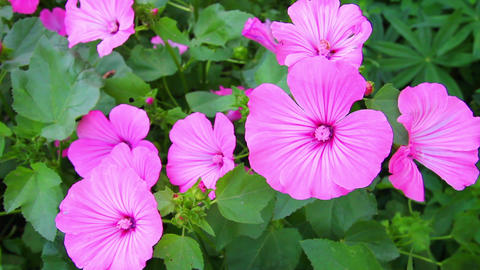 blossom mallow wildflowers close-up Stock Video Footage
