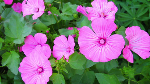 blossom mallow wildflowers close-up Footage