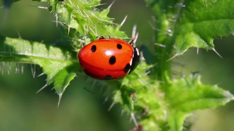 ladybug on green grass macro Stock Video Footage