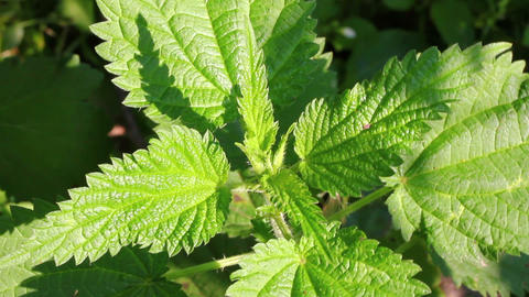 green nettle leaves close-up Stock Video Footage