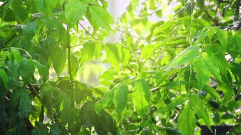 green leaves under rain in sun shine Footage