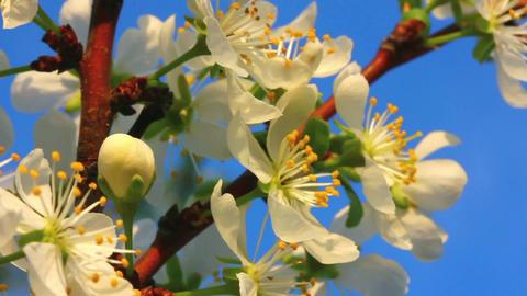 cherry tree flowers macro Footage