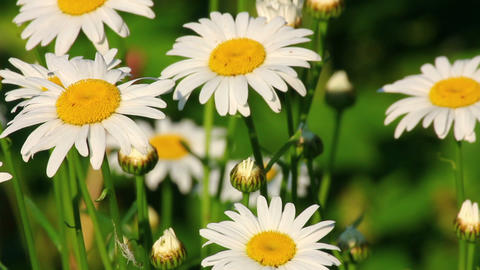 group of camomiles at summer Stock Video Footage