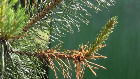 Coniferous tree after rain Stock Video Footage