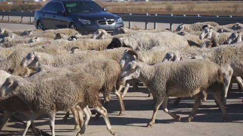 Herd of sheep crossing highway Stock Video Footage