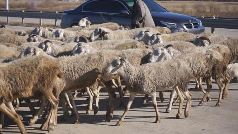 Herd of sheep crossing highway Stock Video Footage