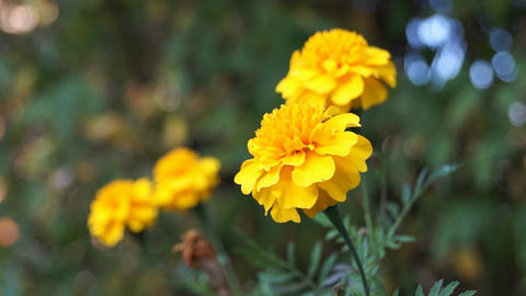 French marigold Stock Video Footage