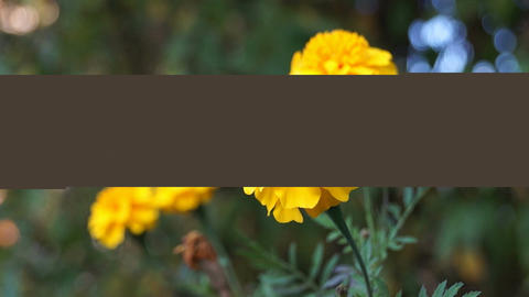 French Marigold stock footage