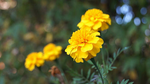 French marigold Footage