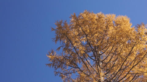 Yellow larch Footage