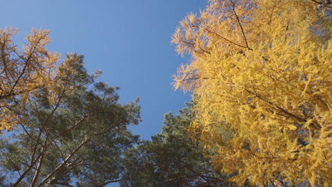 Yellow larch trees 03 Footage