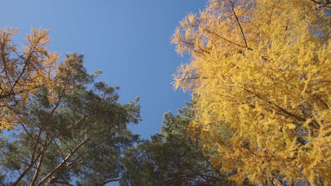 Yellow larch trees 03 Stock Video Footage