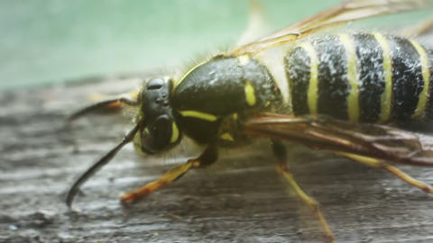 close-up of wasp cleaning Stock Video Footage