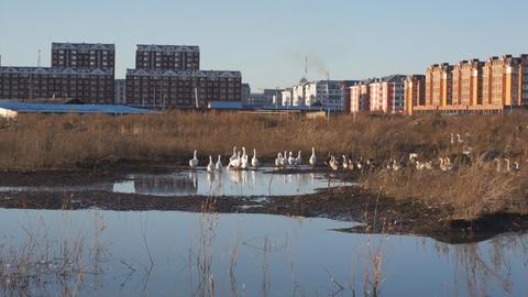 Gooses 1