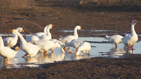 Heihe geese 06 Stock Video Footage