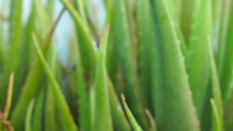 Aloe vera Footage
