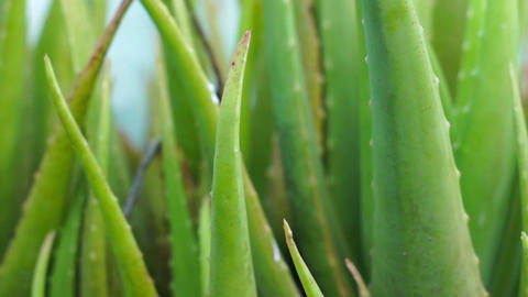 Aloe vera Stock Video Footage