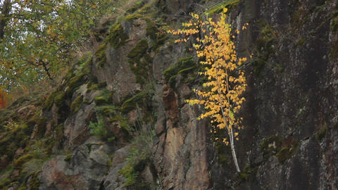 Birch on Rock 1 Stock Video Footage