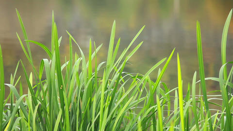 Green Grass on Water Footage