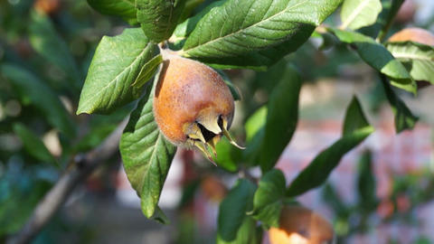 Common medlar Footage