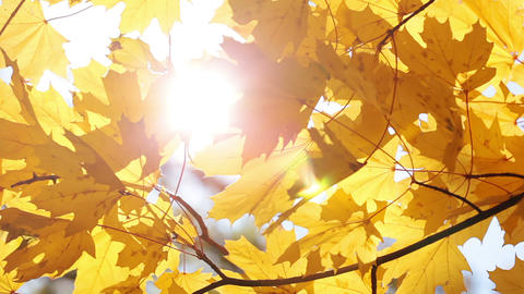 Maple Leaves And Sun stock footage