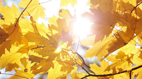 Maple leaves and sun Stock Video Footage