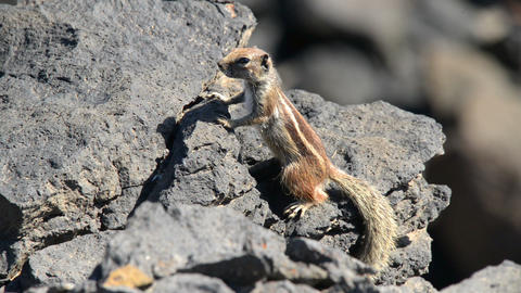 barbary ground squirrel watch Atlantoxerus 11112 Stock Video Footage