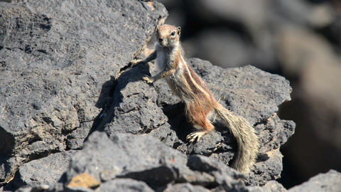 barbary ground squirrel watch Atlantoxerus 11112 Stock Video Footage