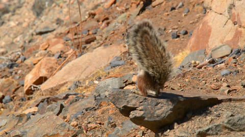 barbary ground squirrel eat and bird comes 11120 Stock Video Footage