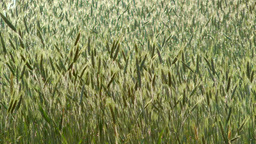 Green Wheat Stock Video Footage