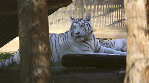 White Tigress stock footage