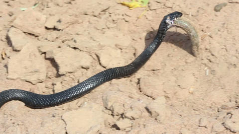 small adder snake with catching fish Stock Video Footage