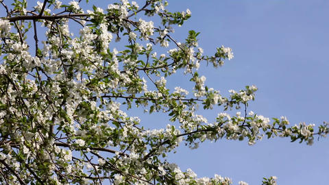 Blossom apple tree branches Footage
