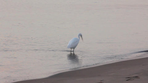 Egyptian heron bird walking on coastline Footage
