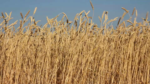 high stems of ripe wheat under a blue sky Footage