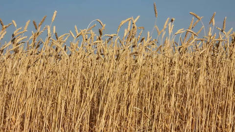 high stems of ripe wheat under a blue sky Stock Video Footage