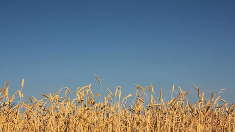 yellow field with ripe wheat under blue sky Stock Video Footage