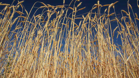 stalks of ripe wheat under a blue sky Footage