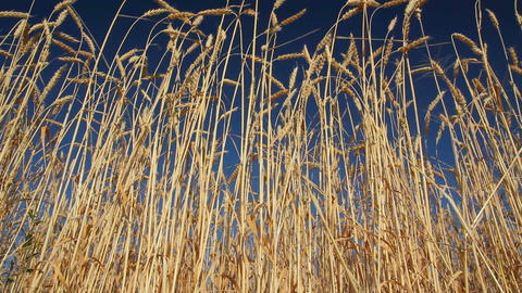 stalks of ripe wheat under a blue sky Stock Video Footage