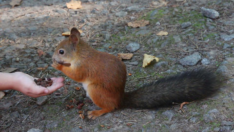 squirrel feeding with nuts in park Footage