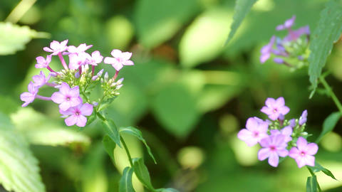 phlox flower between green leaves Footage